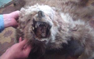 Рисунок 2. Шкура бурого медведя.